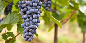 Purple-Grape-ingredient12-mobile.jpg