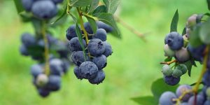 blue-berry-ingredient10-mobile.jpg