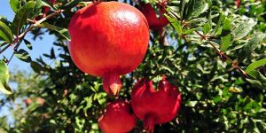 pomegranate-ingredient13-mobile.jpg